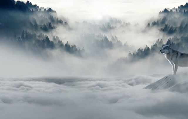 A lone wolf, majestic and strong, commands the clouds from his throne atop the mountain. #wolf #cloudy